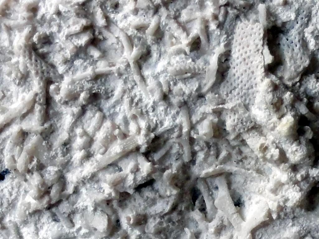 Bryozoen detail
